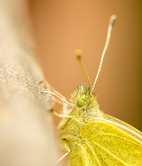 Geel vlindertje