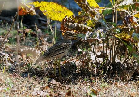 Mijn Reizen - Dit  is een Griel  een waad vogel   op lange stelten  gelukkig kon ik hem nog net spotten want  hij gaat bijna op in zijn omgeving.   Bedankt voor de - foto door Stumpf op 14-04-2021 - deze foto bevat: vogel, fabriek, gewervelde, bek, gras, veer, hout, bodem, terrestrische dieren, neerstekende vogel