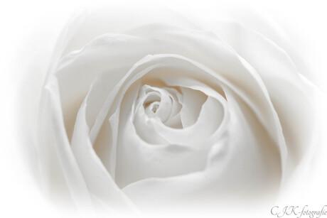 serene rose