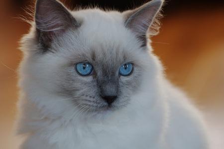Raggy jong - Hier was onze kat nog maar net bij ons. - foto door gervl op 04-09-2012 - deze foto bevat: huisdier, ragdoll