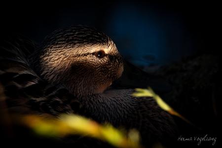 Spelen met licht - Spelen met licht, deze eens was prachtig. - foto door littlebirdy op 17-04-2021 - deze foto bevat: eend, watervogel, licht, sonyrx10iv, sonyrx10m4, bek, terrestrische dieren, bakkebaarden, snuit, duisternis, vacht, watervogel, eenden, ganzen en zwanen, macrofotografie, zeezoogdier