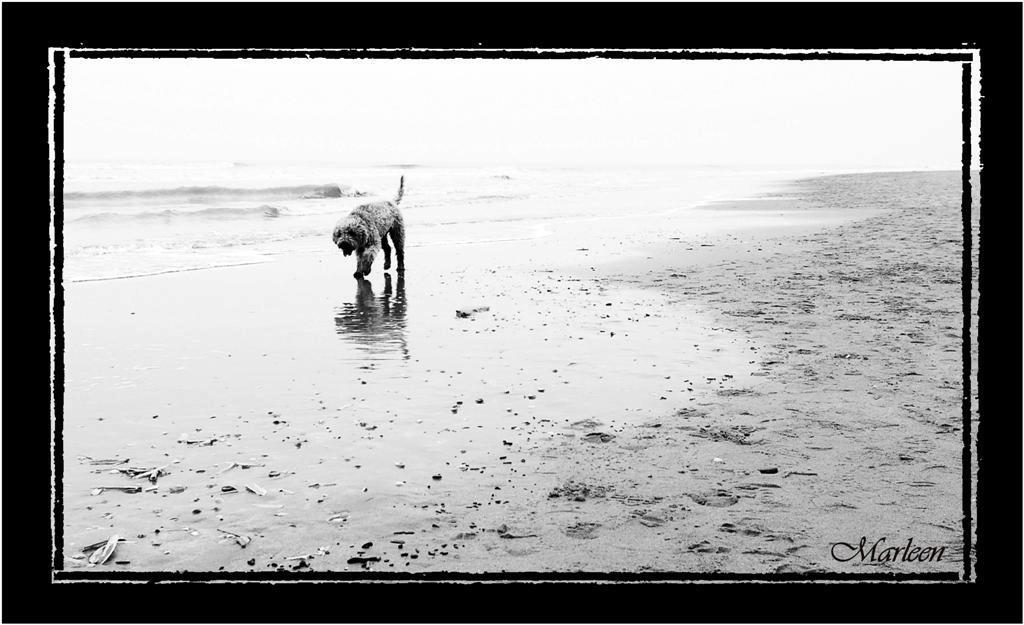 Nog een lange weg te gaan... - Op het strand in Noordwijk liep dit hondje in de branding. Het miezerde een beetje en hij liep er wat zielig bij. Zo te zien had hij al een aardig  - foto door Foto_Marleen op 04-03-2009 - deze foto bevat: strand, zee, dieren, hond, branding, zwart-wit, foto-marleen