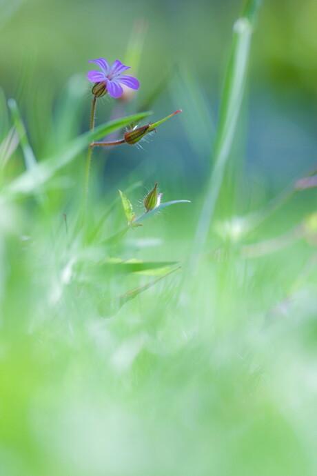 Ooievaarsbekjes in het gras...