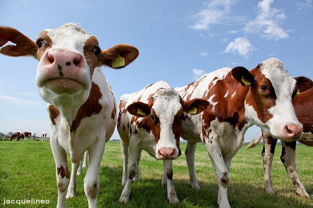 Boe - Vandaag een dagje op een boerderij geweest.  Koeien zijn erg nieuwsgierig en komen erg dicht bij... - foto door jacquelineo op 10-05-2011 - deze foto bevat: wolken, koeien, koe, canon, weiland, close-up, 24-105, 5d mkII