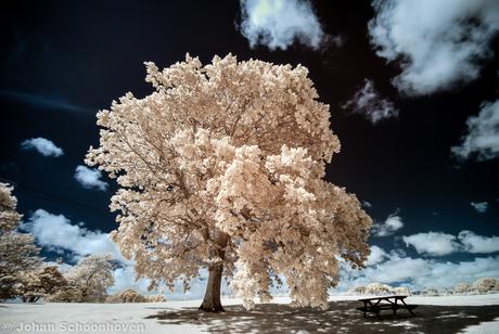 Oak Tree Brede England