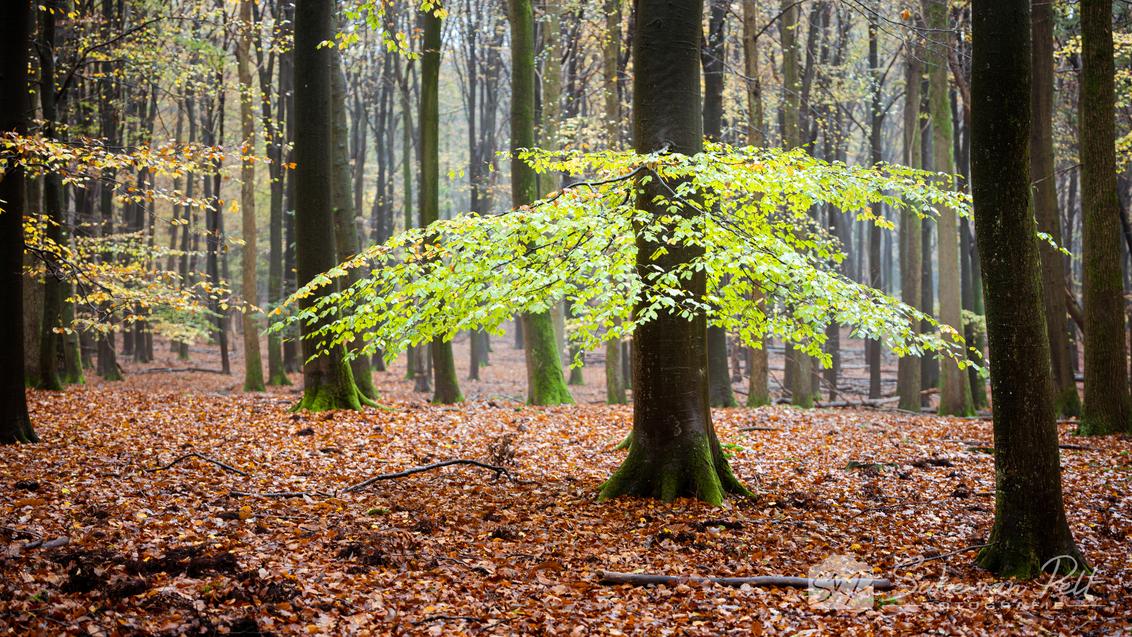 Eigenwijs - Terwijl de meeste bomen in het Speulderbos  hun blaadjes 50 tinten bruin laten kleuren en loslaten, zijn er sommige takken die eigenwijs vast blijve - foto door Sake-van-Pelt op 18-11-2020 - deze foto bevat: groen, lucht, wolken, zon, boom, bladeren, natuur, bruin, geel, licht, herfst, blad, mist, bos, tegenlicht, bomen, takken, tak, beuk, nederland, beukenbos, diepte, speulderbos, seizoen, seizoenen, beuken, bodem, bosgrond, bosbodem