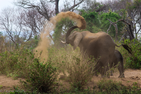 Olifant strooit met zand - Deze olifant bleef maar strand strooien over zijn natte huid, net na oversteek van de Chire rivier in Majete Park, Malawi. - foto door cverburg op 28-11-2012 - deze foto bevat: zand, olifant, rivier, slurf, malawi, Chire, Majete