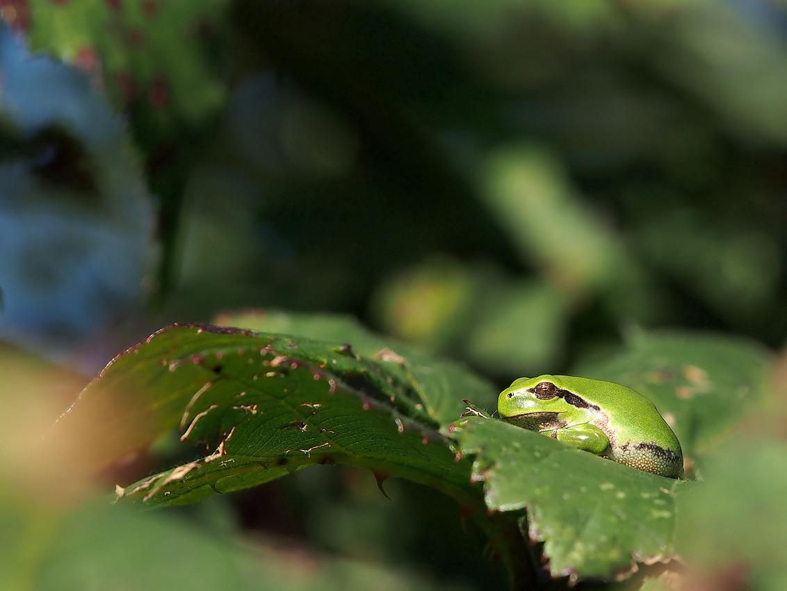 Nog in het,.... - Mapje..de kleine groene....boomkikker... lekker in een zonnetje...   Iedereen bedankt voor de reacties op.... Voor vandaag.... Een fijne dag all - foto door wim181261 op 17-11-2015 - deze foto bevat: groen, kleur, macro, kikker, natuur, licht, s, dof, boomkikker, bokeh
