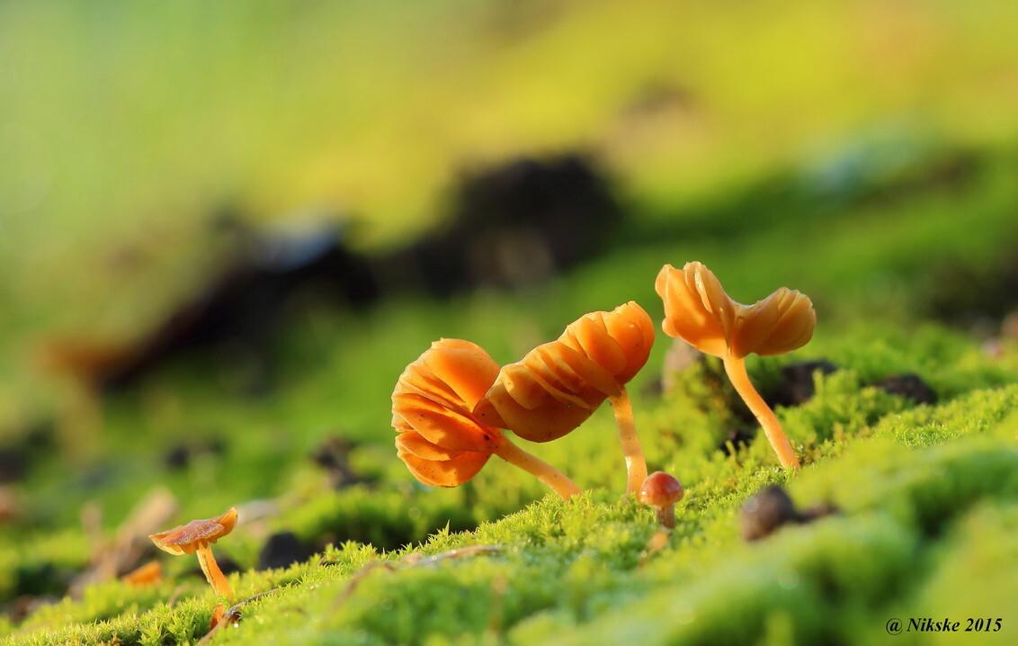 Ze stonden te pronken - Deze stonden deze morgen heel mooi te pronken in de zon - foto door Nico-Nikske op 26-11-2015 - deze foto bevat: groen, macro, natuur, paddestoel, herfst, bokeh
