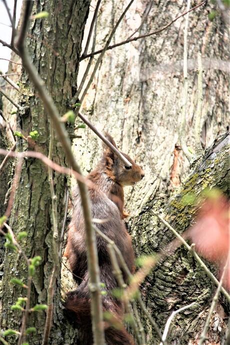 eekhoorn nogmaals
