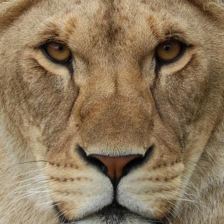 Leeuwin - Close encounter met een leeuwin - foto door hendrikseip op 12-07-2018 - deze foto bevat: dierentuin, natuur, dieren, leeuw, wildlife, emmen