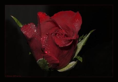 Een mooie roos...