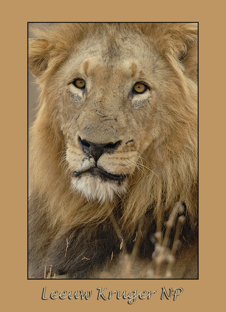 Lion gecropped
