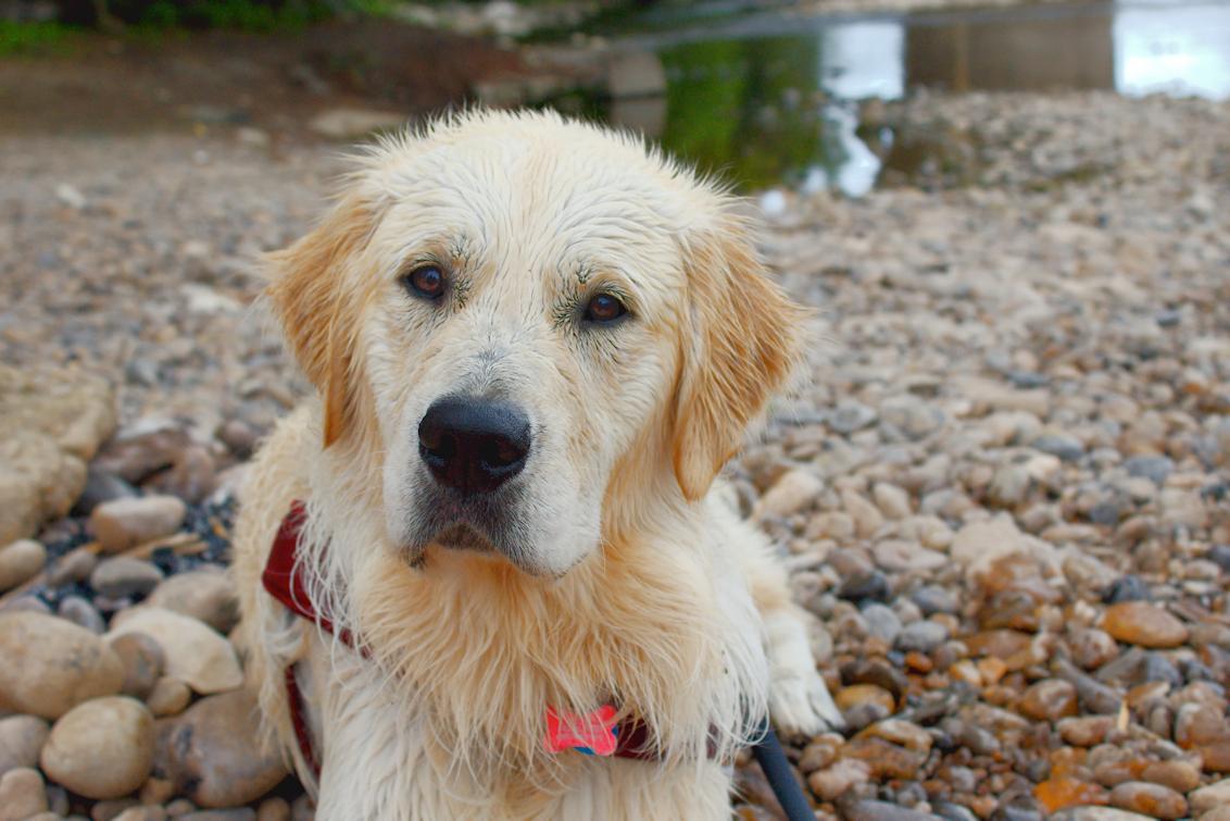 scott  - mijn golden retriever scott nadat hij heeft gezwommen in de dordogne in frankrijk - foto door martinvandervaart op 12-04-2021 - locatie: 46200 Souillac, Frankrijk - deze foto bevat: hond, hond, fabriek, hondenras, carnivoor, metgezel hond, fawn, gras, snuit, canidae, vacht