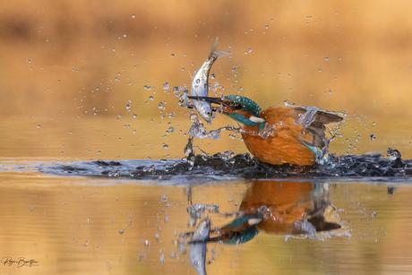 IJsvogel vangt een visje