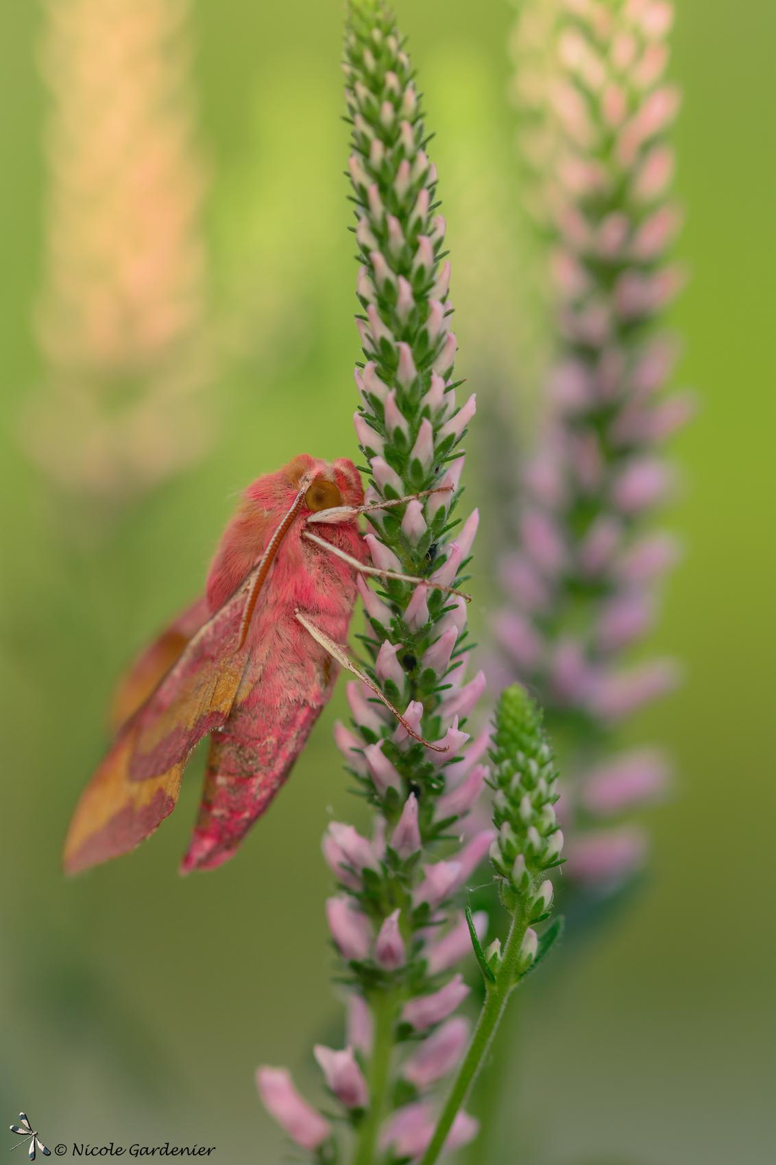 Klein Avondrood - Klein avondrood, nachtvlinder. - foto door nicolegardenier17 op 03-06-2019 - deze foto bevat: vlinder, zomer, nachtvlinder, Klein avondrood