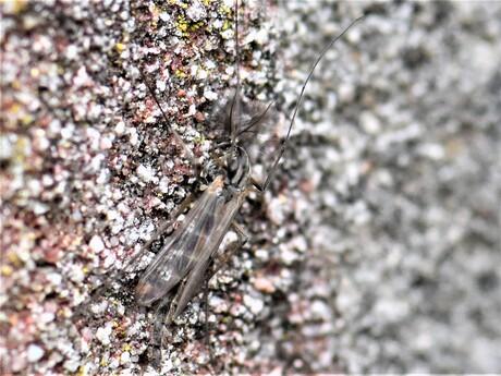 Dansmug - Chironomidae