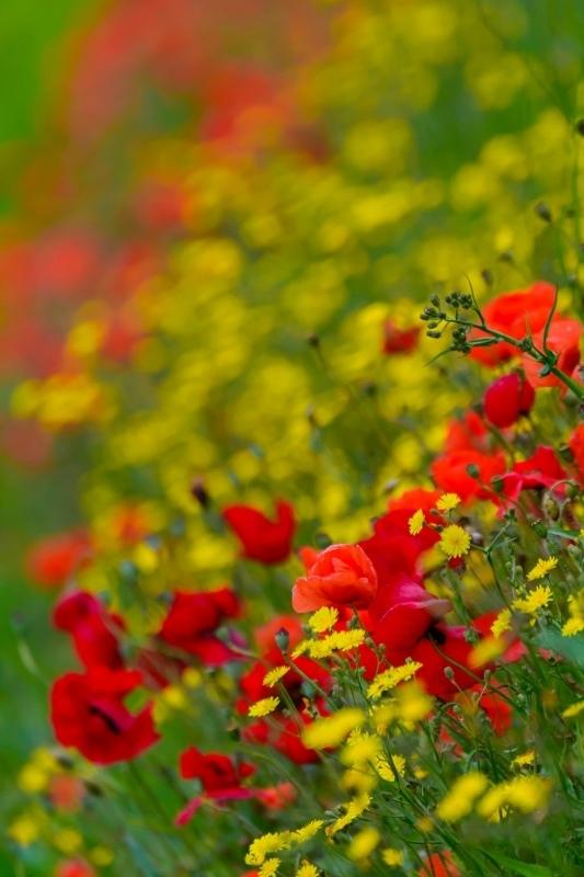 Kleuren.... - Texel .... - foto door dekok op 27-06-2014 - deze foto bevat: bloem, natuur, geel, licht, landschap, klaproos, texel, nederland