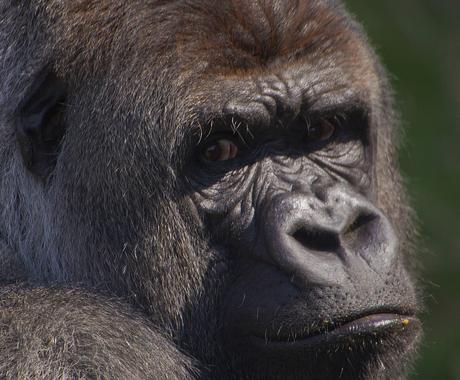 ***** Zilverrug Gorilla Bokito*****