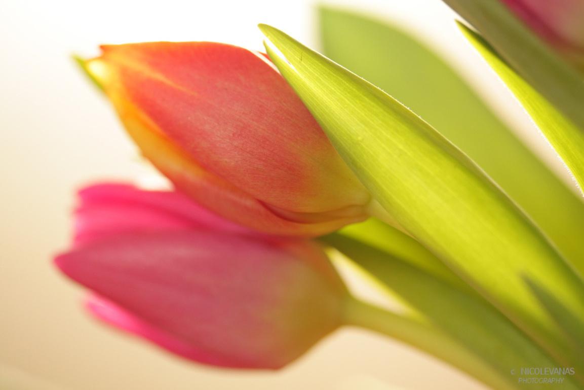 Backlight Tulips - Het weer is regelmatig niet uitnodigend om buiten te fotograferen.  Een bosje tulpen kopen, daar heerlijk mee aan de gang gaan samen met een strobi - foto door nicole-8 op 13-01-2012 - deze foto bevat: macro, tulpen, lente, tegenlicht, voorjaar, flits, kleurrijk, scherptediepte, flitser, strobist, snoot, terugkaatsen, bounchen