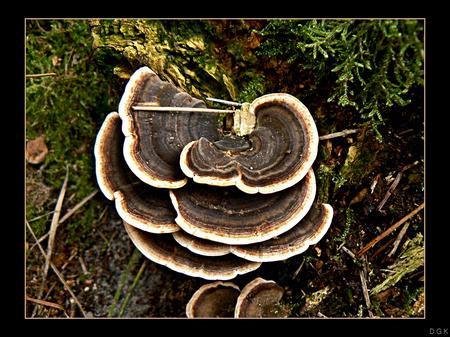 Autumn Flavour 6 - Het beroemde elfenbankje. Niet bepaald mooie kleuren zoals andere paddestoelen, maar dat maakt m niet minder mooi naar mijn idee.  Nummer 6 uit mij - foto door daniel44 op 12-11-2006 - deze foto bevat: autumn, natuur, bruin, herfst, paddenstoel, bos, daniel44, seizoen, oldemeyer