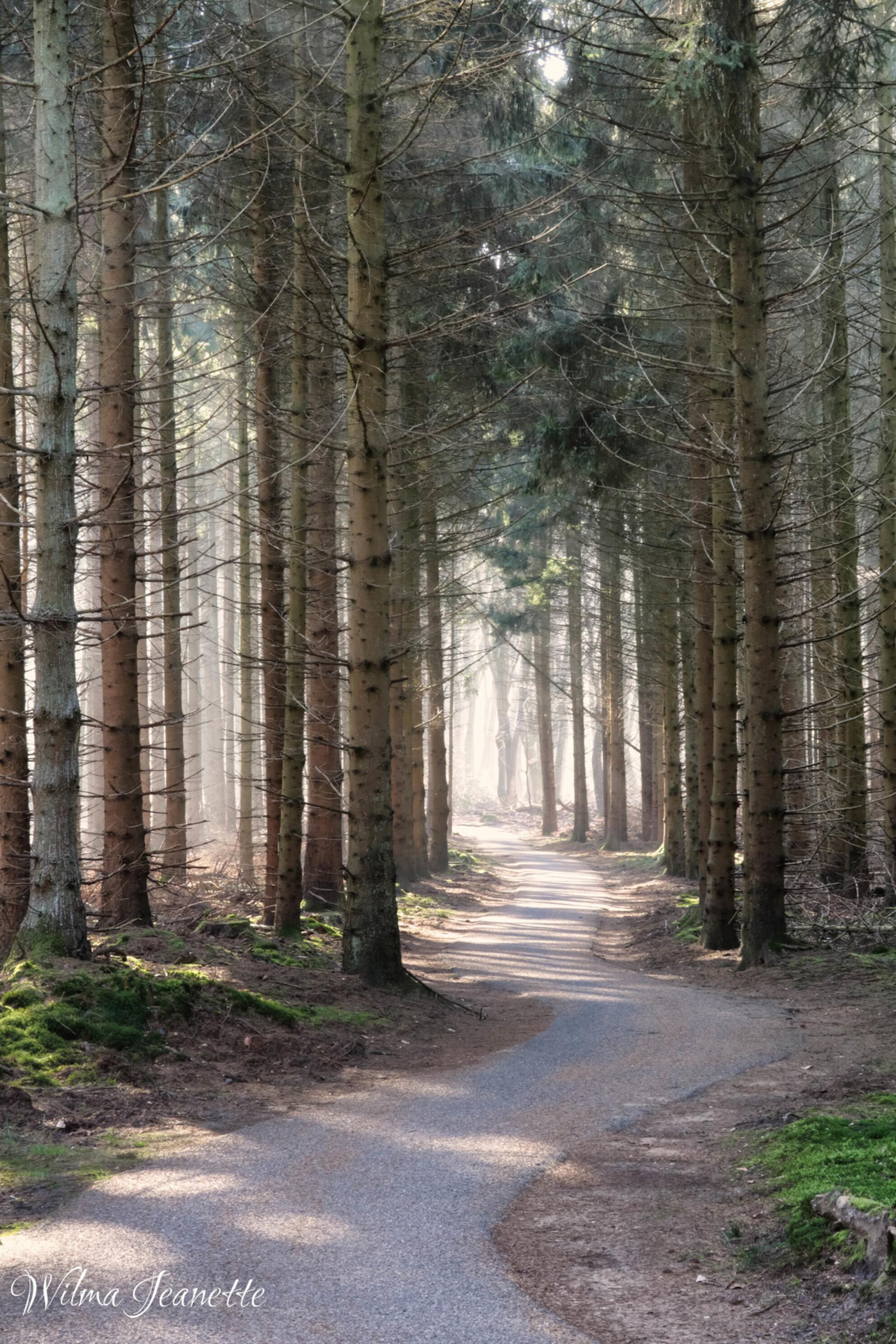 Speulderbos - - - foto door dol19fijn op 06-03-2021 - deze foto bevat: groen, boom, natuur, licht, winter, landschap, mist, bos, denneboom