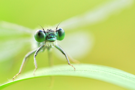 La Belle libelle