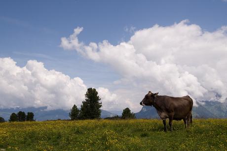 Koe bij Penkenjoch