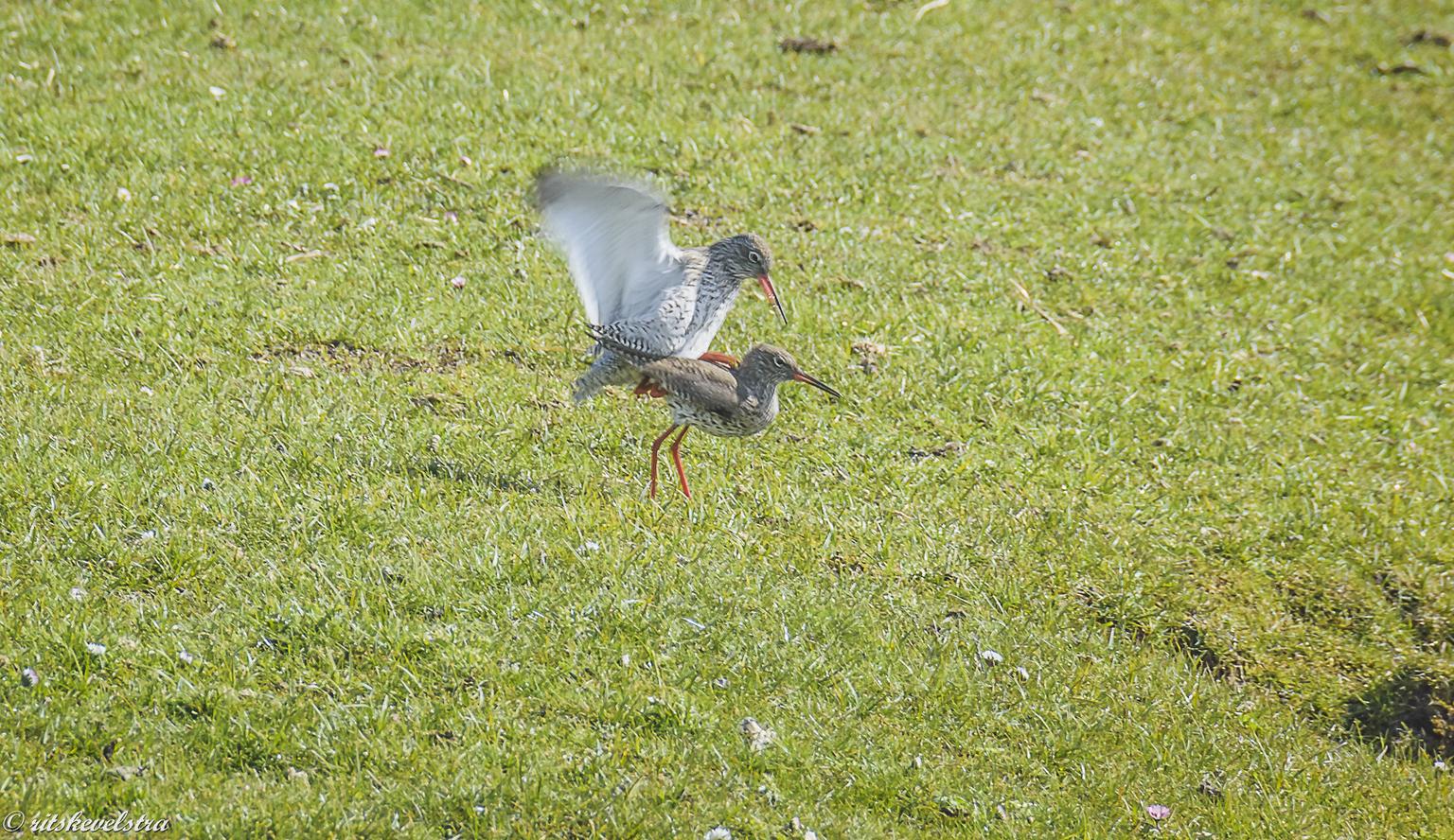 Voor de tureluurs is de lente begonnen. - Gisteren fietsend door de weilanden hoorde ik de Tureluurs en stapte af.  Toestel uit de tas en snel geschoten. Daardoor niet helemaal scherp maar we - foto door rits op 13-04-2021 - locatie: Heiloo, Nederland - deze foto bevat: lente, weilanden, tureluurs, heiloo, vogel, gras, bek, bodembedekker, grasland, veer, weide, terrestrische dieren, zeevogel, vleugel
