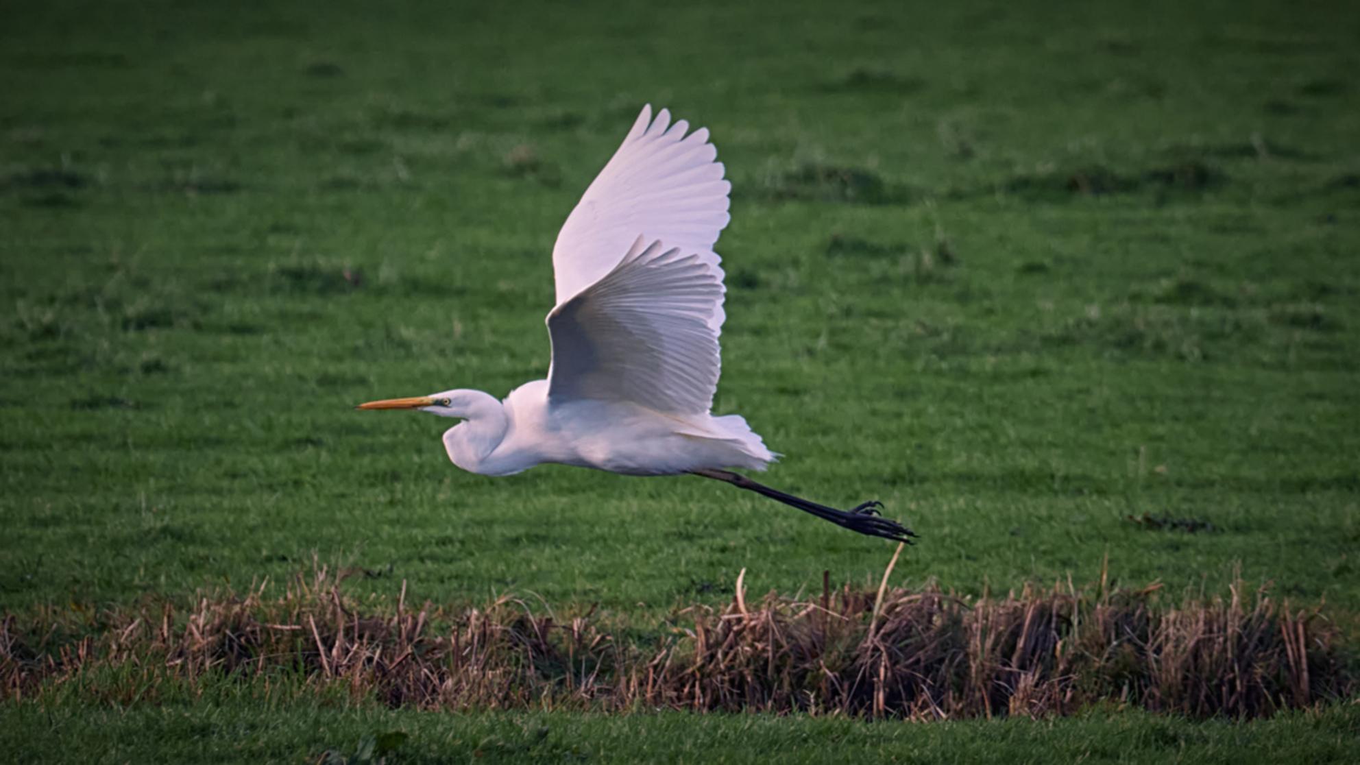 Fly... - ... - foto door Christiaan_zoom op 01-01-2021 - deze foto bevat: wit, natuur, vleugels, zilver, dieren, veren, vogel, vliegen, riet, watervogel, poten, snavel, zilverreiger, graspol, grasland