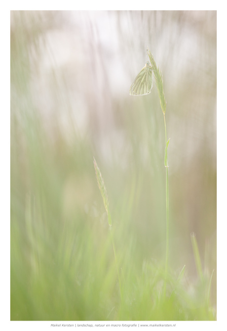 Faded Butterfly | natuurgebied | Groesbeek