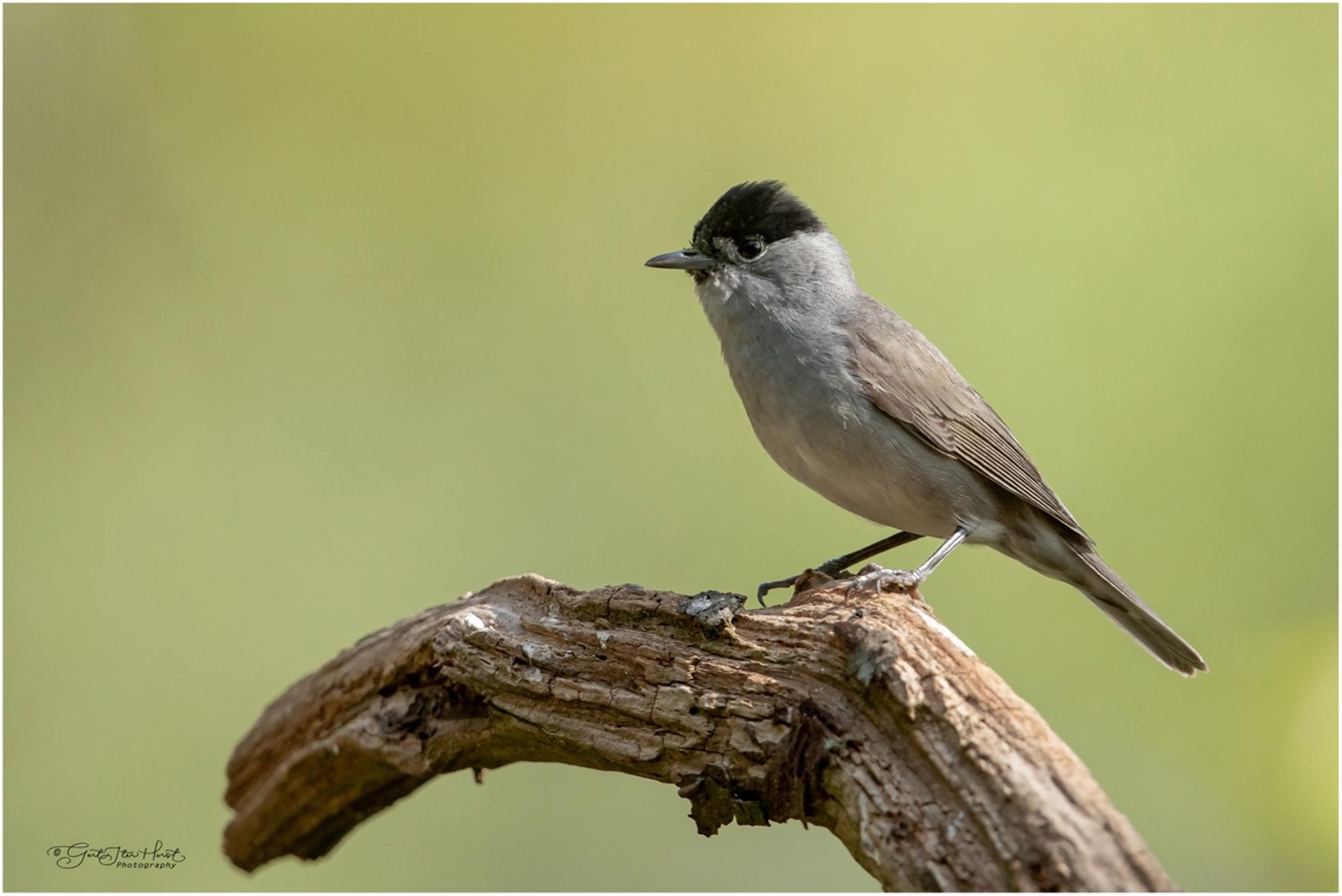 Zwartkop - Een mooi vogeltje met een prachtige zang. Dit is een mannetje; het vrouwtje heeft een bruin kapje. - foto door Gertj123 op 24-05-2020 - deze foto bevat: natuur, dieren, vogel, zangvogel