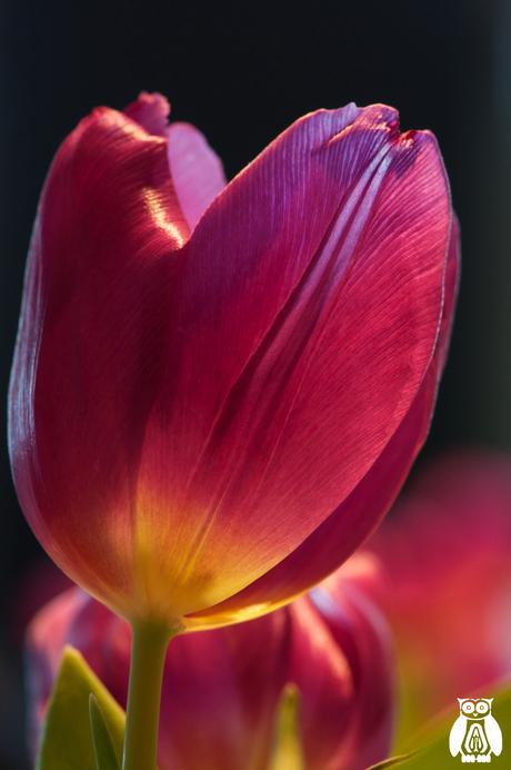Still a beautiful tulip