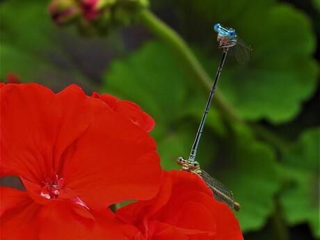 In Japan staat de Libelle voor kracht, moed, licht en geluk