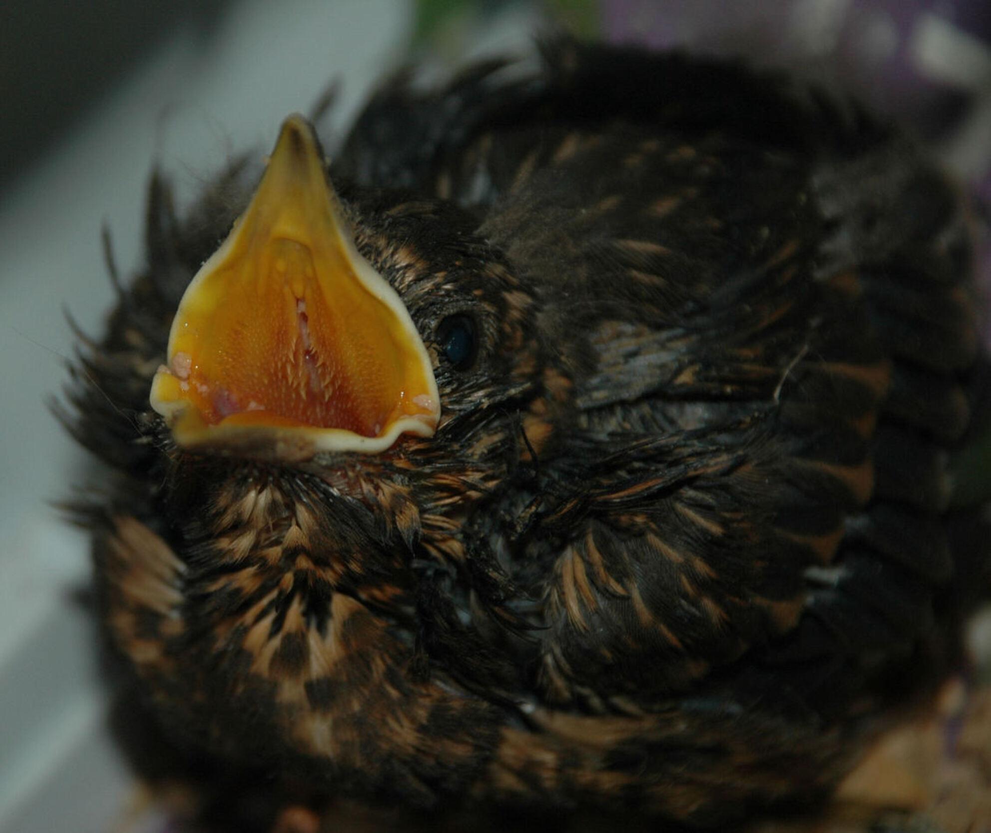 Honger - Deze baby merel was binnen gebracht bij mij in de dierenkliniek. - foto door denies84 op 27-06-2009 - deze foto bevat: merel, vogel, baby - Deze foto mag gebruikt worden in een Zoom.nl publicatie