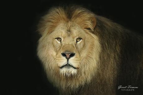 Leeuw Ramzes