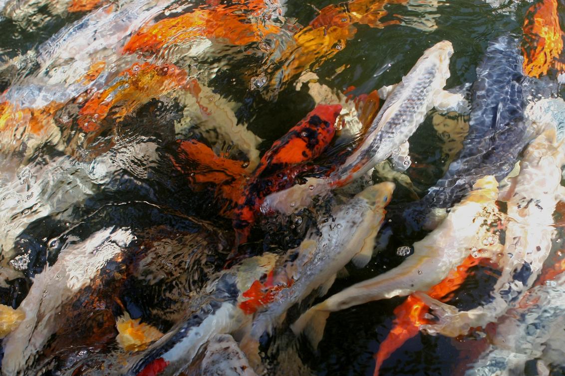 Koi-art - Een kluitje koi-karpers, gewoon een  lekker kleurig schilderij - foto door petervanmeurs op 01-09-2011 - deze foto bevat: koi karper vis kleur art
