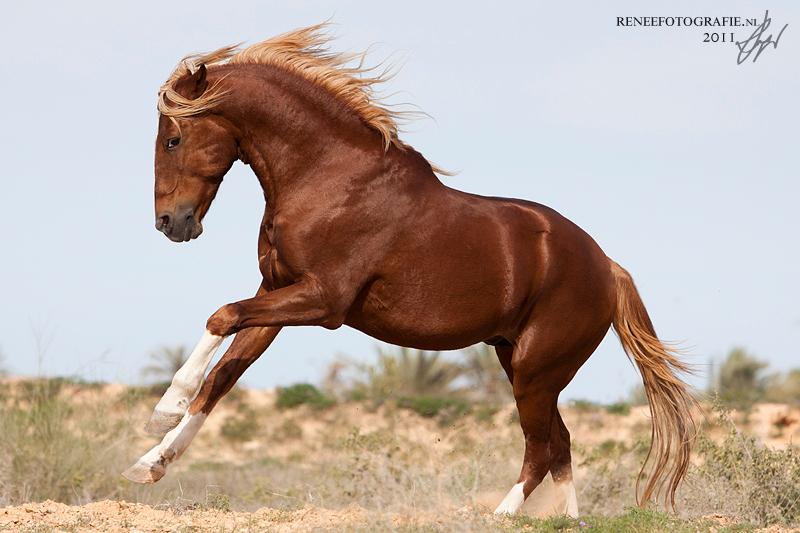 Angry Barb stallion - boze berber hengst in tunesie - foto door lifaya op 16-02-2012 - deze foto bevat: paarden, paard, pony, valk, los, vrijheid, roan, hengst, horse, ruin, palomino