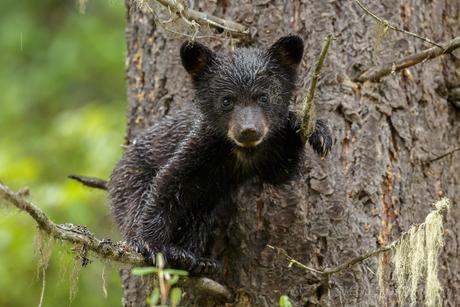 Jonge zwarte beer