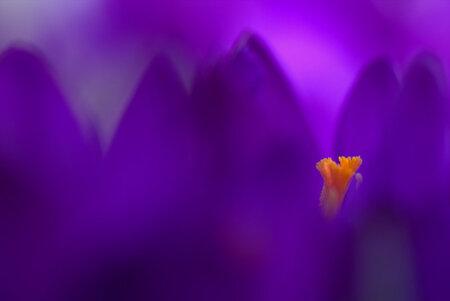 Crocus art - Ik heb ook geprobeerd om op een andere manier de krokus vast te leggen. Deze stond aan het randje in de schaduw met vele krokusjes achter zich, wat d - foto door mares73 op 26-02-2014 - deze foto bevat: paars, macro, krokus, voorjaar