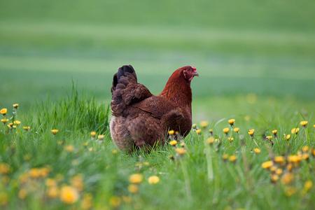 kip - **** - foto door anne14 op 07-05-2012 - deze foto bevat: kip
