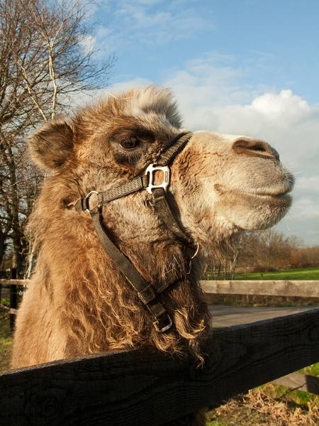 Kameel - Als het dan toch kamelentijd is sluit ik me graag hierbij aan. Ik zag bij Nel een leuk exemplaar en deze schoonheid kwam ik tegen tijdens een fietsto - foto door kosmopol op 30-01-2012 - deze foto bevat: kameel, close up, kosmopol