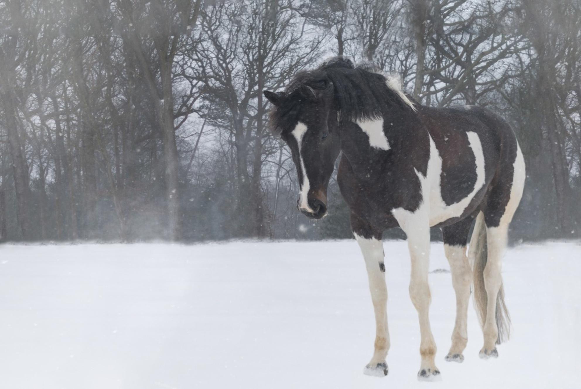 Mijn paardje in de sneeuw. - Eindelijk mijn eigen paardje in de sneeuw kunnen fotograferen - foto door Asjanson op 17-02-2021 - deze foto bevat: sneeuw, paard, dieren, huisdier