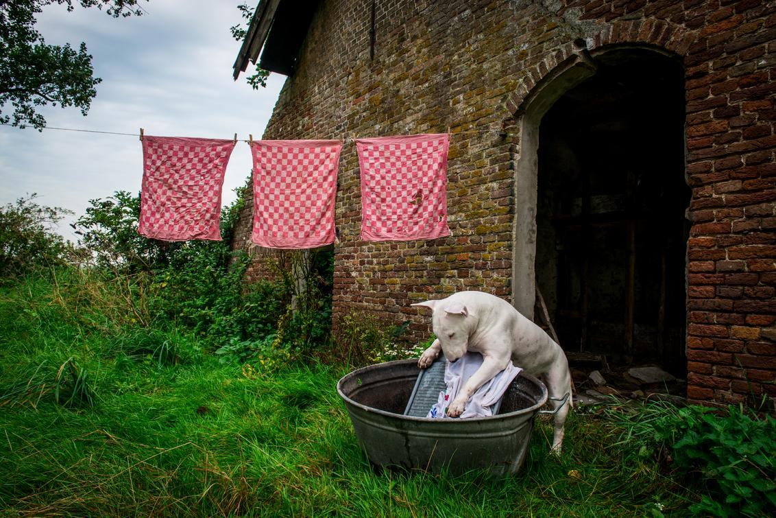 Maandag Wasdag - - - foto door info-2708 op 31-08-2015 - deze foto bevat: dieren, huisdier, hond, verlaten, wassen, decay, theedoeken, wastobbe, bull terriër, maandag wasdag, bullterriers, wasplank