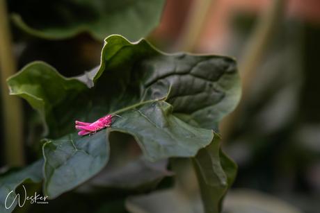 De roze sprinkhaan