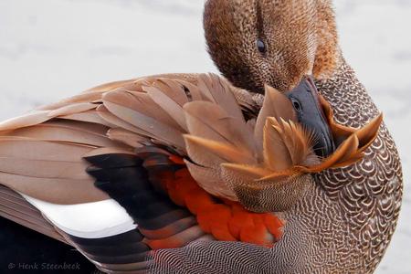 krakeend onderhoudt zijn veren - Het mannetje van de krakeend heeft een geweldig mooi verenpakket, dat moet natturlijk wel goed onderhouden worden.  Hartelijk bedankt voor alle moo - foto door HenkSt op 05-03-2021 - deze foto bevat: veren, eend, krakeend, onderhouden, blaricummermeent