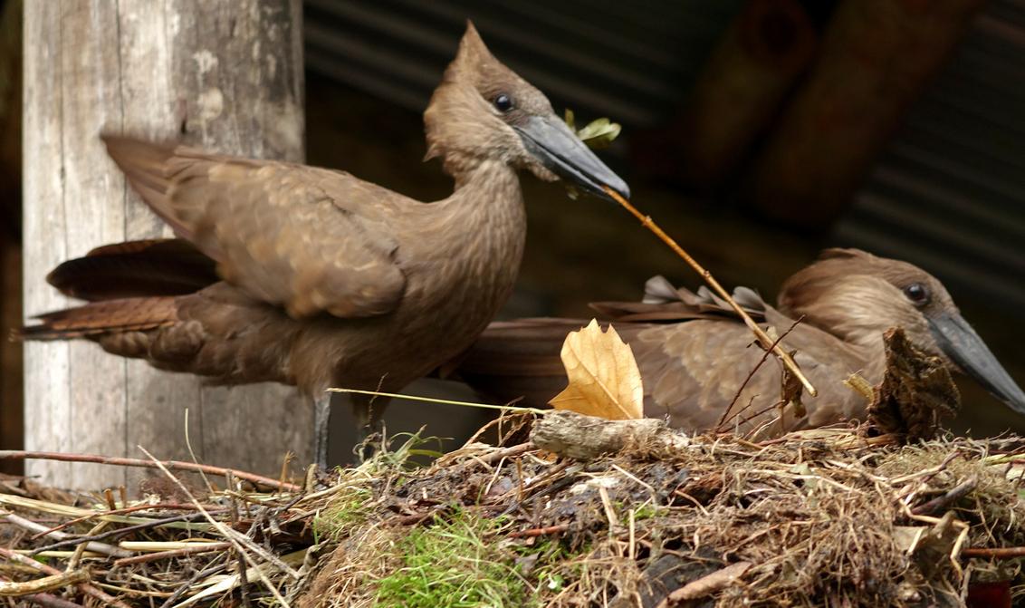 Vijftig... - tinten bruin. groeten en een prettig weekend, Nel - foto door Nel Hoetmer op 11-09-2015 - deze foto bevat: dieren, blijdorp, nel