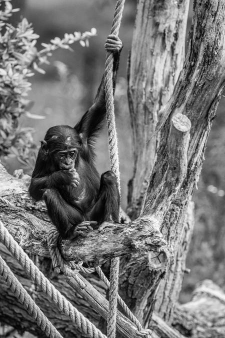 Chimp - Little chimp - foto door VivianAlexandra op 19-12-2017 - deze foto bevat: dierentuin, black, aap, monkey, apeldoorn, zoo, apenheul, chimp, chimpansee, tele, telelens, ape, whit, black&white