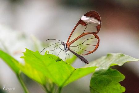 """Vlinders aan de Vliet in Leidschendam - Een glasvlinder in de vlindertuin van """"Vlinders aan de Vliet"""" in Leidschendam. - foto door amsterdamned_zoom op 30-04-2017 - deze foto bevat: macro, natuur, vlinder, tuin, holland, nederland, insekt, vlindertuin, leidschendam, glasvlinder, amsterdamned, zuid-holland, vlinders aan de vliet, Zuid Holland"""