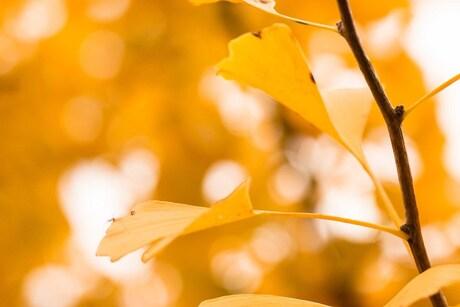 Ginkgo in de herfst